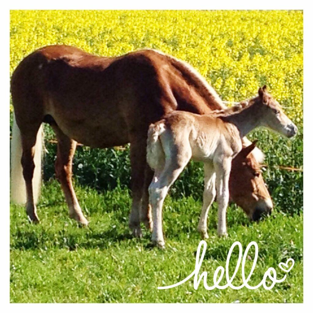 mit Strich und Faden | Haflinger mit Fohlen auf der Weide